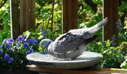 birdbath met duif 1