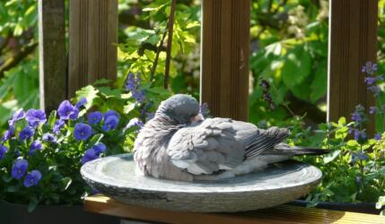 birdbath met duif 3