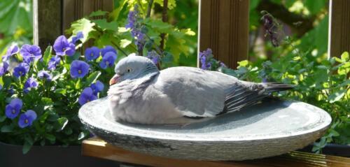 birdbath met duif 4